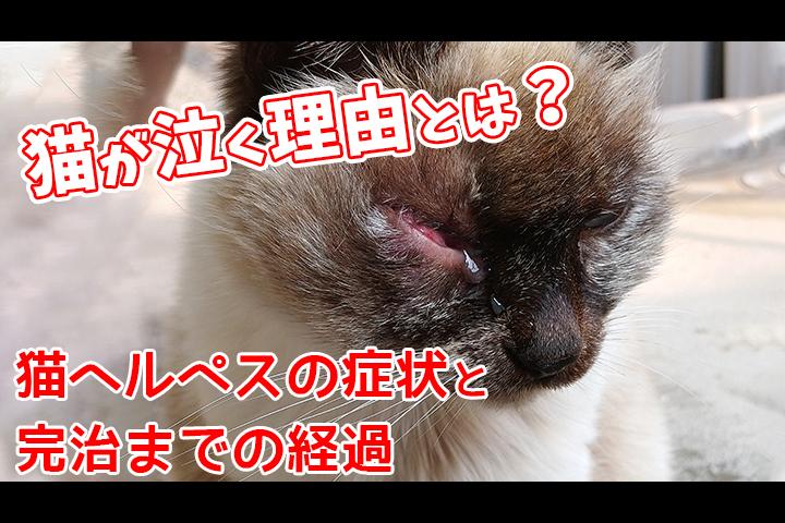 猫ヘルペス ? 猫風邪 って?の症状と治るまでの経過